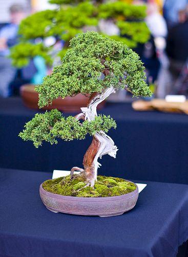中国杜松或萨金特的Juniper盆景树(Juniperus sargentii)。这棵小树是一棵中等大小的盆景,上面摆放着裸木金和沙里,用石灰硫漂白。土壤上装饰着一层青苔。这棵微型树被装入一个无釉的陶瓷鼓罐。照片拍摄于9月下旬在南约克郡谢菲尔德的唐谷盆景巡回展。 (不是我自己的一棵树)。相机:尼康D300镜头:尼康18-200MM F3.5-5.6G IF-ED AF-S VR DX我用我的照片作为我的绘画灵感,可以在www.stevegreaves.com上看到