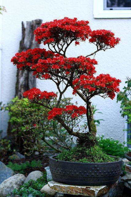 由Kalvin的母亲种植的盆景树。