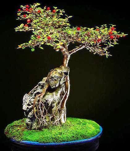 购买10株枸子(Cotoneaster microphyllus)或Smallleaf Cotoneaster盆景树种子,售价为R39.50