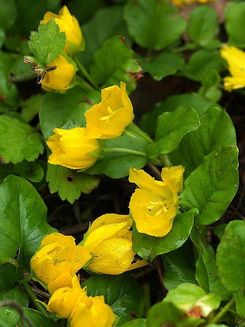 爬行珍妮(Lysimachia nummularia)。由于其能够迅速覆盖地面及其吸引人的花朵,因此经常栽培。很少产生种子,但是无性繁殖。