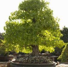 如何制作橡树盆景树。盆栽这个词意味着托盘种植。许多人认为树木和植物是为了在室内种植而得到满足的,但传统上盆景意味着要在室外种植。橡树盆景树是小型化最具戏剧性的树木之一。