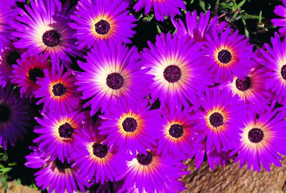 多汁植物由50多个属组成。由于其耐旱特性,许多类型都能形成理想的地面覆盖物。它们也可以作为异种植物。大多数肉质...