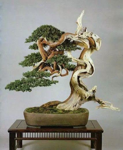 中国盆景:一棵松树