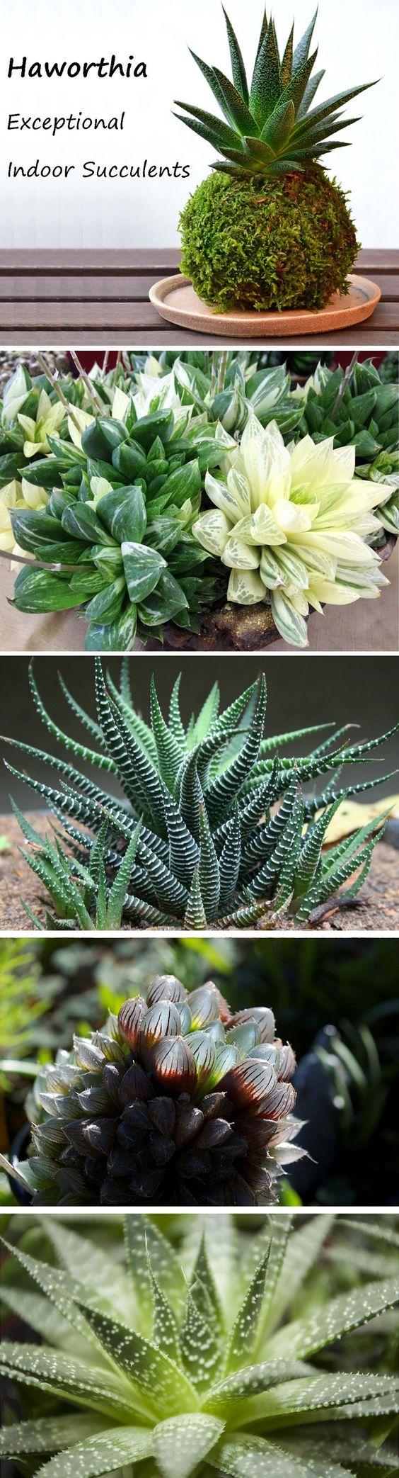 Haworthia  - 完美的室内肉质植物 - 小,生长缓慢,低光照需求和极具观赏性。易护理室内多肉植物。