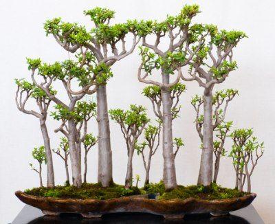 Crassula Bonsai是古代艺术的新转折;使用玉石植物训练微小的树木来模仿大自然使它们的方式很容易...