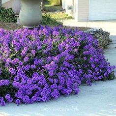 青苔马鞭草(Verbena Tenuisecta) - 这些令人惊叹的地被植物在你的花园里有一个地方吗?你会想要青苔马鞭草,因为它盛开整个夏天,紫罗兰色或粉红色的花朵在蔓延的植物上,而叶子蕨类和吸引力。 Moss Verbena来自南美洲,在炎热,阳光充足的沙地和贫瘠土壤中表现良好。从马鞭草种子很容易建立,它为蜜蜂和蝴蝶提供花蜜。 Moss Verbena地被植物将在无霜区长成多年生植物。对于寒冷的气候,这种马鞭草一年生长一次。它为草地增添了不错的色彩,在阳光明媚的花朵边框中使用它,并且在容器或篮子中也能很好地工作。季节:每年USDA区域:3  -  10高度:6  -  12英寸宽度:24英寸开花季节:夏季和秋季布卢姆颜色:紫罗兰色环境:充分的太阳