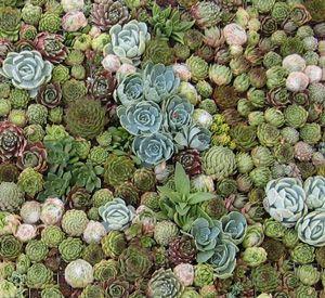 """为了成功种植在墙上生长的植物,重要的是要认识到与传统园艺的区别。通常发现多汁植物生长在岩石裂缝或悬崖边缘的悬崖上,紧紧抓住它们能找到的土壤。这种在小土壤中生活的能力使它们成为垂直园艺的良好候选者。 Robin Stockwell,""""The Succulent Guy"""",提供有关生活相框的分步指南。"""