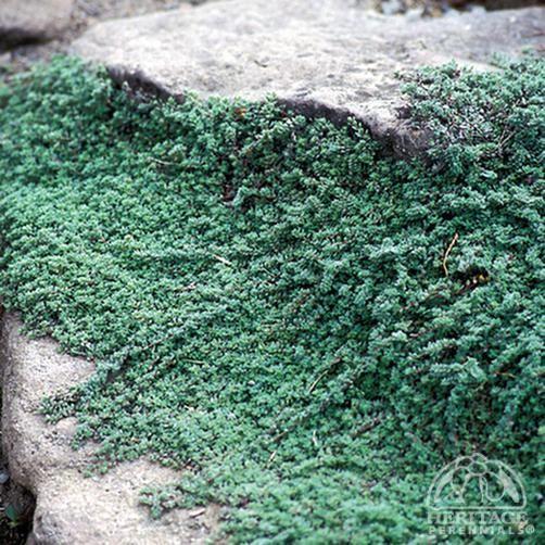 羊毛百里香:胸腺pseudolanuginosus  - 快速增长 - 耐旱地面覆盖区8