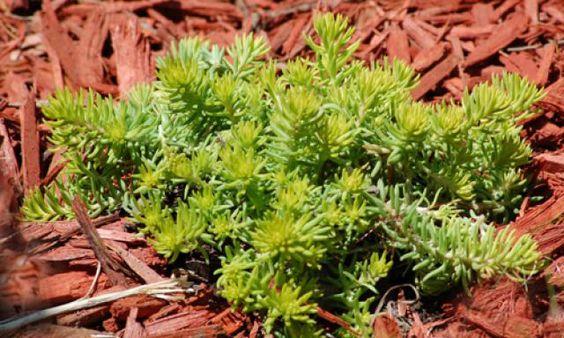 如果您担心潜在的干旱灾害,或者只是想节省水费,请种植这些常年耐旱的地面覆盖物。