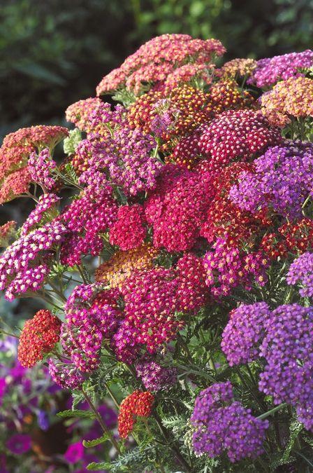 亚罗 - 绽放春天和秋天;耐旱;地面覆盖良好;优秀的切花或干花;充满阳光的部分阴影;五月至七月盛开