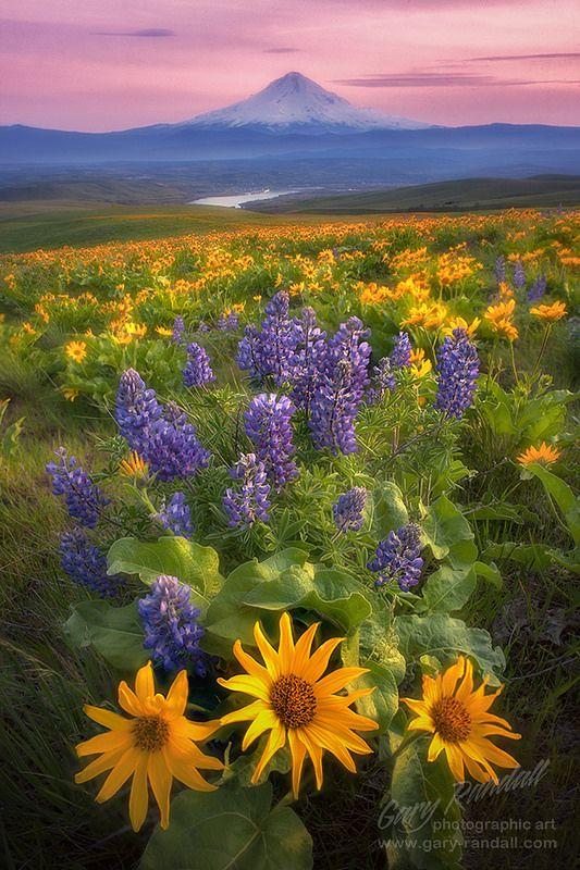 Balsamroot和羽扇豆在达尔斯山牧场,哥伦比亚山,华盛顿与胡德山在距离。