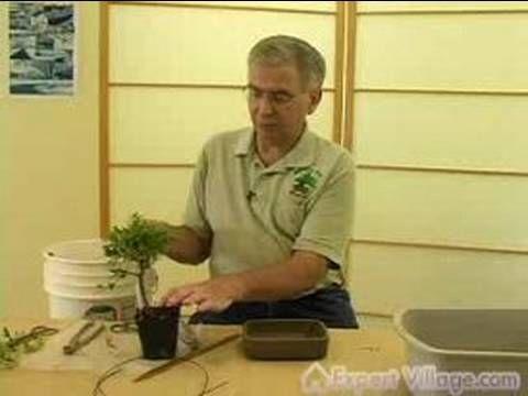 从头开始学习种植盆景树的简单方法。
