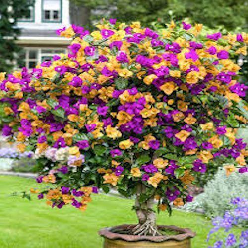 """大约20粒种子种植九重葛种子肯定能为家庭或花园增添鲜艳的色彩。这些热带美食相对容易维护。它们可以茁壮成长多年,随着年龄的增长变得更加美丽。准备成长对九重葛种子生长的要求与成熟植物的要求非常相似。九重葛需要排水良好的土壤。任何优质的盆栽土壤都可以作为生长介质,只要它排水良好并且是微酸性的。选择一个不会在顶部缩小的容器。九重葛的根源和精致,当移植的时候,九重葛需要能够容易地滑出旧容器。锅不需要很深,但应该保持足够的生长介质,以便不必频繁浇水。种子将需要良好的光源。阳光明媚的窗台或门廊都可以。如果要使用增长的灯光,请确保光线直接照射在种子上。确保灯光的热量不会太大。九重葛种子将从成长垫或器具中享受一些底部温暖,但检查看他们不做饭。如果表面不仅仅是略微温暖,请重新放置容器或将其放在烤架或低脚上。根据需要调整光源。种植种子在土壤表面播种九重葛种子,然后轻轻地""""耙入""""至不超过种子厚度2至3倍的深度。轻轻浇水。在不干扰种子的情况下提供水分的一种简单方法是在2至3英寸深的浅容器中种植。将容器放入装满水的较大托盘中。让容器吸干水,直到土壤湿润。然后取出种植的容器,让其彻底排干。仅在土壤完全干燥时再次浇水。九重葛种子可能会显示出一些早期的增长迹象。但请耐心等待。并非所有种子都会以相同的速率发芽,即使是来自同一亲本植物也是如此。种子可能需要长达30天,但结果值得等待。"""