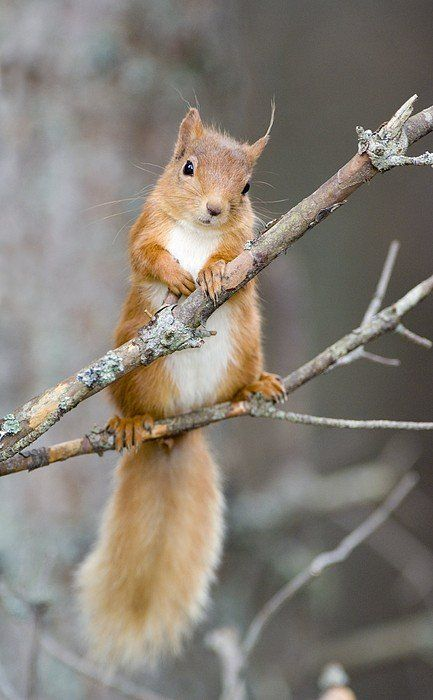 Red Squirrel On A Branch Art Print by Duncan Shaw