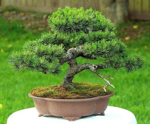 Mugo Pine 25种子 -  BONSAI  -  Pinus mugo mughus