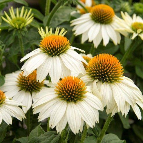 用耐旱的多年生植物取代您的园林植物是节约用水的低维护花园的明智选择。