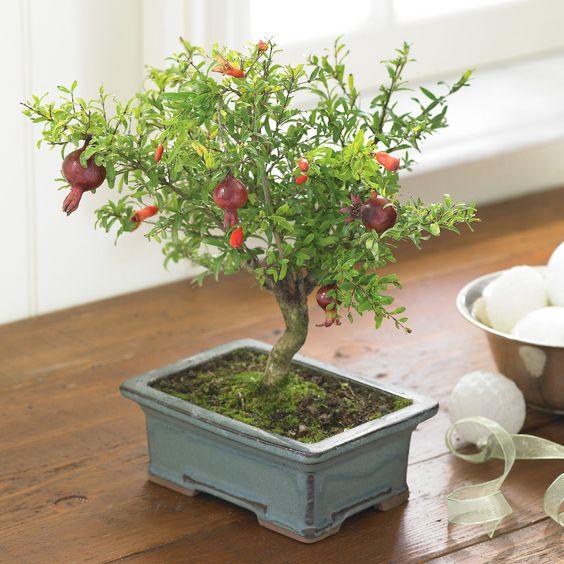 这些美丽的小4岁盆景树已被巧妙地栽培到约。 24英寸,橙色和深红色叶子,直径1.5英寸的微型石榴果实。