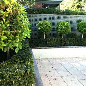 标准榕树是一种优越的园林植物,为现代和正式的花园增添了阶级和趣味。也适合在盆中种植。