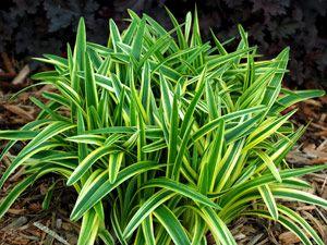线路人行道 -  Liriope银色防晒 - 快速增长的阳光/阴影地面覆盖。完美搭配Hardy Ferns,Mondo Grass,Hostas,绣球花,灌木,敲击式玫瑰,树荫植物