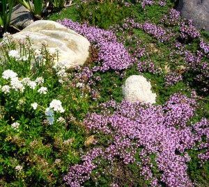 蔓延百里香是一种蔓延百里香品种。它非常适合作为草坪替代品或垫脚石或铺路石。在本文中了解更多关于匍匐百里香植物护理的内容。