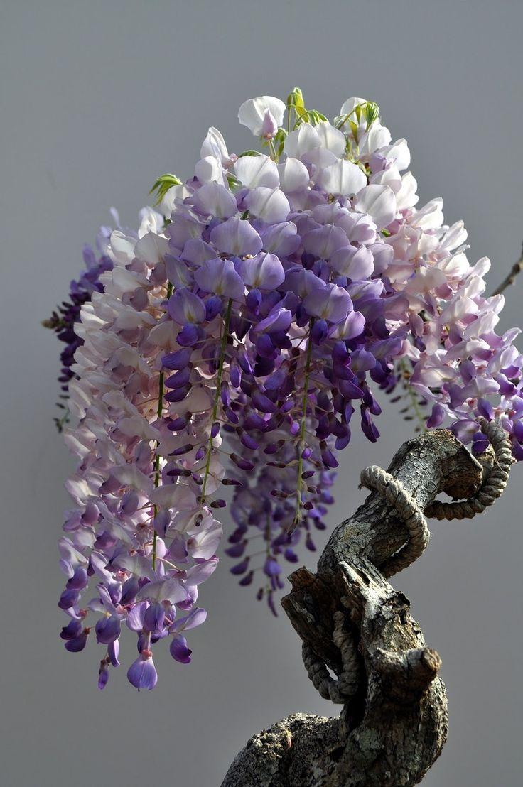 ★☯★☽#盆景#树或#bonzai☾★☯★古代紫藤盆景。