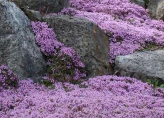 匍匐百里香种子约400粒种子匍匐百里香是想要它的所有园艺师的理想地面覆盖物 - 实用,色彩,甚至是柠檬香味! Creeping Thyme是一种通常不超过半英尺高的矮小花,是最终的低维护多年生植物。匍匐百里香种植说明匍匐百里草是一种广受欢迎的景观设计流行的适应性矮地衣。通常用作花坛的边界和人行道上的摊铺机之间的边界,这是一种可处理中等人流量的地面覆盖物。 Creeping Thyme是一种多年生草本植物,在4-9区会过冬。在5月至8月期间,当温度持续高于60秒或以上时,直接播种种子。可以在三月和四月完成固定的种植。应避免秋季播种,以防冻害。平均发芽时间应该是大约21-28天,并且种子应该始终保持湿润,直到发芽很强。种植时,种子不应被土壤覆盖,而应压入土壤。良好的种子与土壤接触对于理想的发芽率是必需的。匍匐百里香喜欢排水良好的土壤,中性pH值(6.5-7.5),在接受良好日光的地方,但也可以耐受部分阴影。蔓延百里香是一个缓慢的种植者,将需要超过一个赛季才能发挥其全部潜力。一旦种子发芽良好,当顶部几英寸土壤变干时,水深达6英寸。在较暖和较干燥的气候下,轻覆盖可能有助于保持水分,但如果在铺路机之间或在较陡的地区种植种子,通常不需要覆盖。如果您在较贫瘠的土壤中种植,但是良好的土壤制备(在种植前在2-3英寸的粪肥层,堆肥或其他有机材料中混合)应该否定肥料的需要,那么可以使用一剂轻质延迟释放肥料。爬蔓百里香不会在过多粘土或沙质土壤中繁殖。爬行百里香的高度在4-6英寸之间,每个已建成的植物可以蔓延到约2英尺宽。几年后,植物的中心会变得木质并开始退化。可以将死亡部分小心切回,并且可以重新植入植物的健康外部部分。爬蔓百里香通常不易患病或昆虫,但可为蔬菜和观赏植物提供障碍。名称:匍匐百里香种子植物学名:Thymus serpyllum生命周期:多年生植物颜色:深绿色叶子/薰衣草绽放季节:夏季高度:2-6英寸光照条件:阳光播种法直播