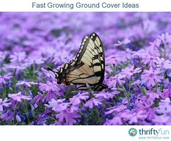 这是关于快速增长地面覆盖思想的指南。对于不适合草地或作为草坪替代品的地区,有各种地面覆盖物可以完成您的园林绿化,为您的花园增添色彩和质感。