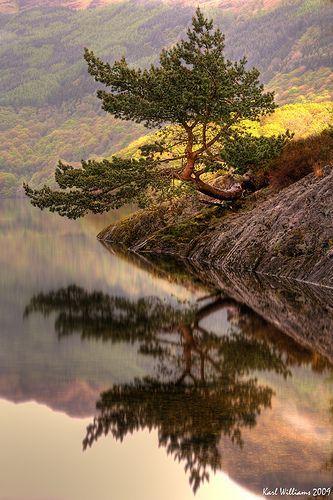 在洛蒙德湖,苏格兰的着名Rowardennan苏格兰松树盆景