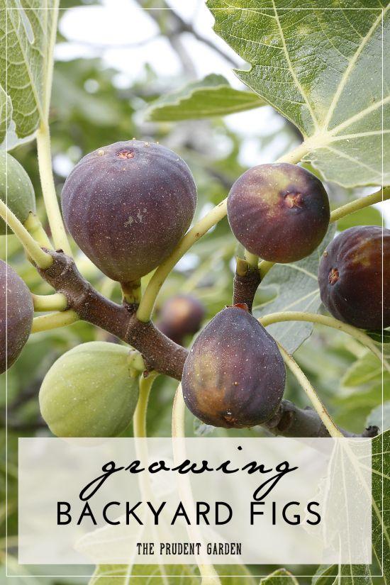 种植自己的无花果是开始家庭水果生产的简单方法。将这些简单的提示添加到易于种植的作物中,您就可以获得成功。