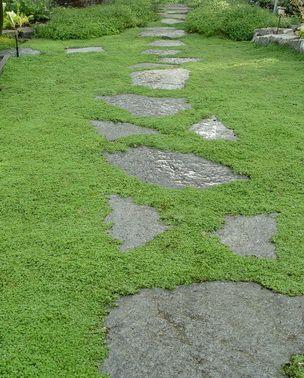 科西嘉薄荷 - 地面覆盖物,植物作为草坪替代物或石头之间,芳香的树叶,阴凉处