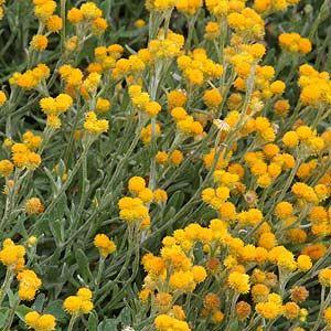澳大利亚的遮荫植物名单:一些最好的遮荫植物为遮荫,包括:玉簪,Bergenia,淫羊藿,山茱萸,爬山虎,委陵菜,包括Athyrium,Brunnera,Helleborus,Pultenea pedunculata和Tiarella的蕨类植物都具有很好的地被植物。