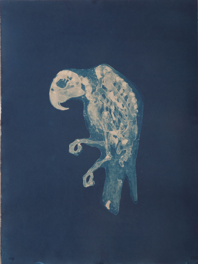 Carrie Witherell cyanotype.