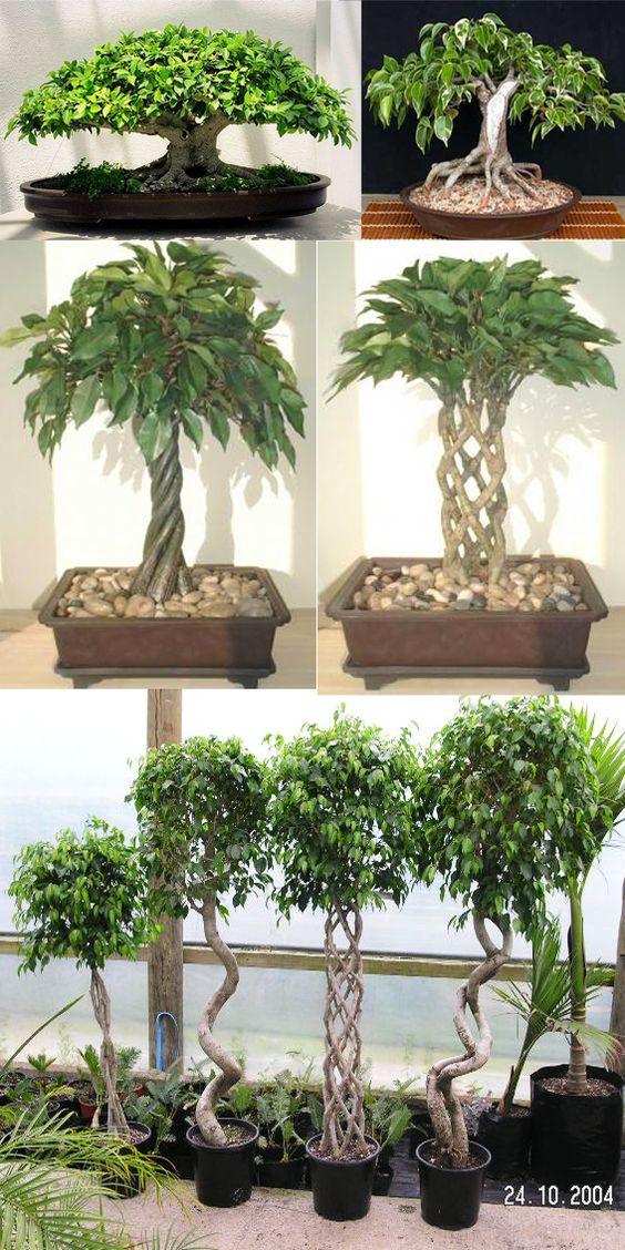 种植您的Ficus Bonsai Ficus盆景非常适合室内盆景。像大多数盆景一样浇水榕树盆景,喜欢在浇水之间晒干。 Light Ficus盆景在直射或间接阳光下生长良好。我们更喜欢在阴暗地区种植榕树。喂养在生长季节,春季到秋季,每两周对榕树盆栽施肥一次。我们建议使用有机液体肥料,如鱼乳液或有机海藻肥料。