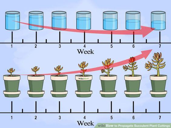 如何传播多汁的植物插条。大多数多汁的植物很容易繁殖,并且有足够的叶子让你轻松尝试一次大批量的试验。你甚至可以从一片叶子繁殖多汁植物,但...