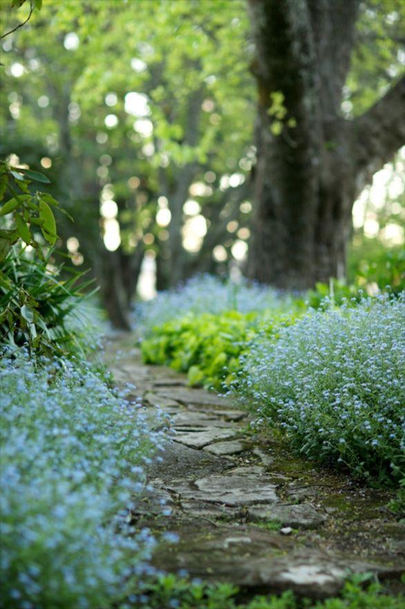 Forget-me-nots along a path.