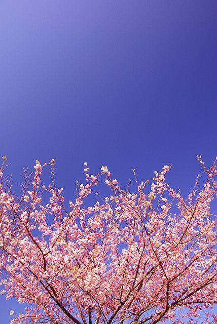 樱桃树和蓝天!