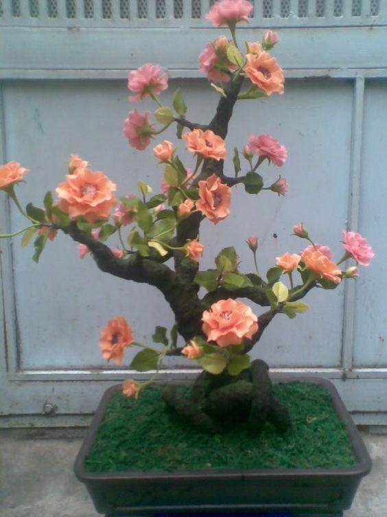 玫瑰盆景(我可以有一个完整的董事会bonzai .... hhhmmm)