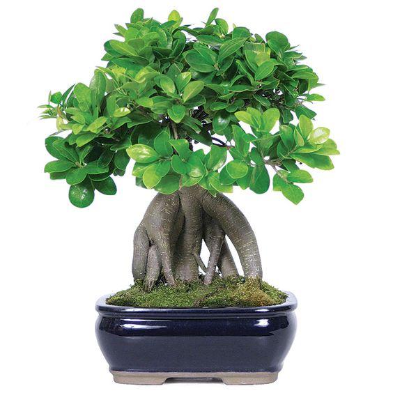 人参榕盆景树。以及如何将人参榕变成真正的盆景树。 https://www.youtube.com/watch?v=ho7tNSArEj4