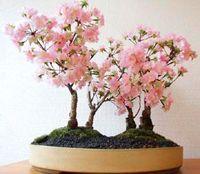 日本樱桃盆景<3这个