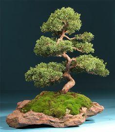 但也有盆景,日本的艺术形式使用盆栽或容器中生长的微型树木。日本艺术盆景