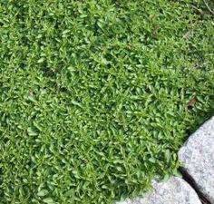 这些低维护的地面覆盖物生长旺盛,迅速传播,以阻止杂草。