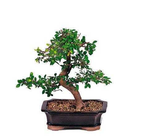开花的Chinzan杜鹃花是苗圃树批发商提供的最受欢迎的盆景树之一。无论您想要为自己赠送礼物还是为特殊场合赠送礼物,这种盆景树多年来一直是美国各地客户的最爱。杜鹃花以全年开花数次着名,粉红色或鲑鱼色小花。它也是一种常绿植物,这意味着它将全年保持其枝叶中的绿色。这棵树将以其简约的造型,色彩缤纷的花朵和迷人的展示为主人提供多年的满足感。亲身体验为什么这个美丽的盆景是苗圃树批发商最畅销的树之一。绽放:全年经验:非常适合初学者推荐地点:外面您想了解更多吗?请阅读我们的SATSUKI AZALEA BONSAI TREE CARE SHEET