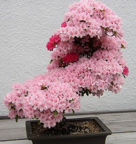 樱花盆景,树,日本,性质