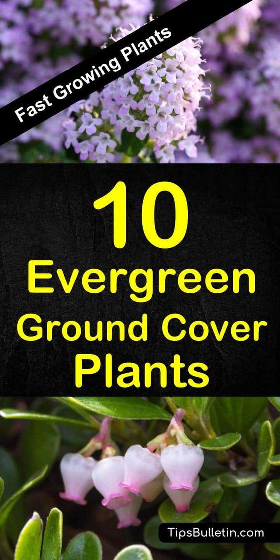 10种最好的常绿快速生长地被植物,覆盖全年的多年生植物,用于遮阳和遮阳。沿着你的走道和美化项目完美。从长春花,龙血和匍匐福禄考到熊果和天竺葵。 #groundcoverplants #plants #gardening #perennials