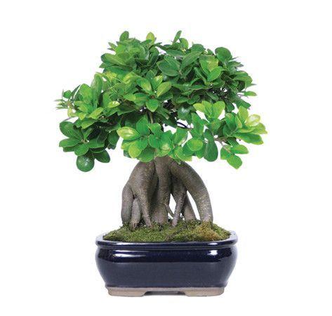 来自苗圃树批发商的人参嫁接榕树盆景树是力量的体现,因其暴露的厚实根部而闻名世界,使树具有异国情调。这些树有一簇簇椭圆形,有光泽的绿叶,在暴露的根部构成紧凑的叶子。它们非常适合室内环境,因为它们能够在低光照条件下容忍甚至茁壮成长。经验:非常适合初学者推荐地点:��部,靠近窗户口渴渴望更多?请阅读我们的Gensing嫁接榕树盆景树护理表!