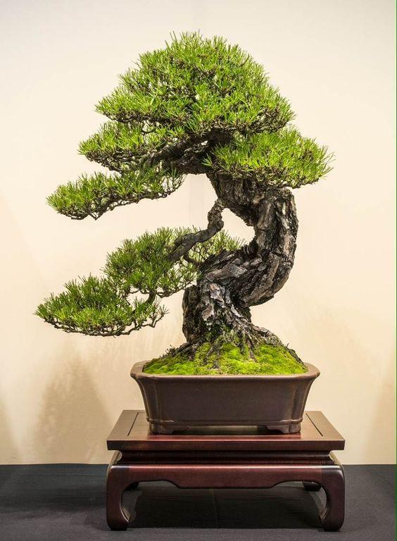 JP Polmans的松树盆景#bonsai #art #nature#树