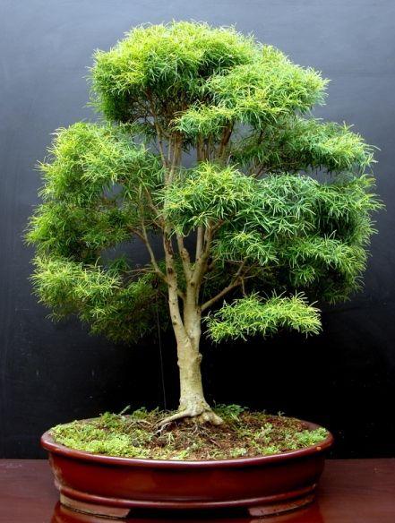 """我的一些作品的新照片。这些盆景在我的房子里,我称之为Aido Bonsai。 Penjing""""The scribe。""""榕树。图案石......"""