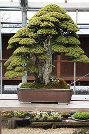 ★☯★☽#Bonsai #Tree或#bonzai☾★☯★这是最着名的盆景之一。 Shinji Suzuki先生拒绝了这棵树的超过50万美元的报价。