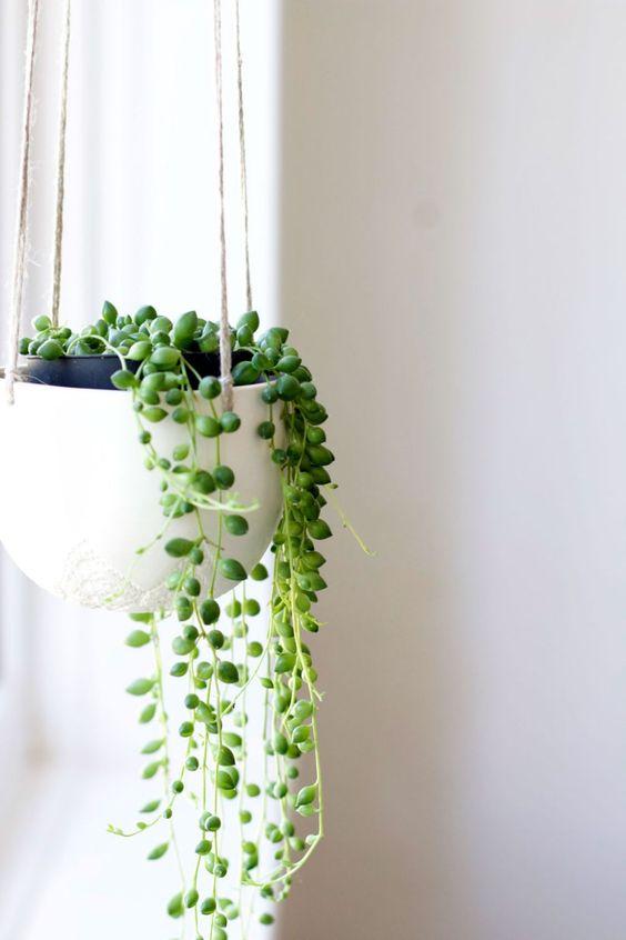 带珠状叶子的室内植物,珍珠串通常种植在吊篮中。这串珍珠室内植物在明亮的光线下生长良好。