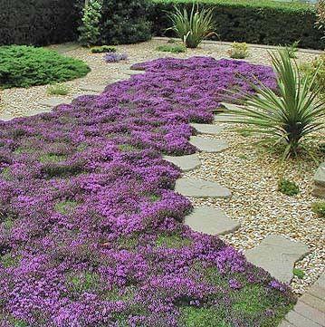 蔓延的百里香形成低生长,2英寸高的绿色芳香,柠檬香叶的地毯。春季和夏季,植物覆盖在胭脂红粉红色的花朵中。他们被蝴蝶所喜爱。蓬勃生长,'魔毯'百里香是一种极好的小型地面覆盖物。踏脚石或容器之间也很漂亮。
